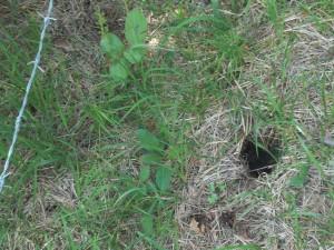 Das macht wütend: Eine Frauenschuh-Pflanze, die außerhalb des Zauns stand, wurde zwischen dem 1. und 8. Juni ausgegraben. Fridolin Schwarz hat so etwas schon öfter feststellen müssen.